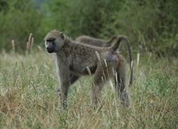 A young female baboon in Amboseli