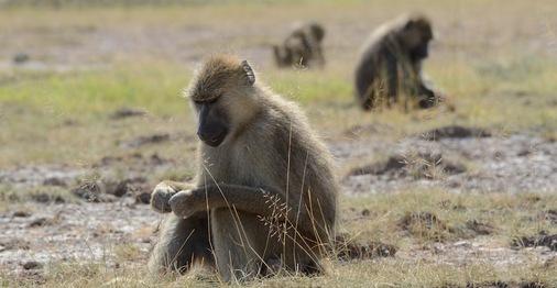 Amboseli baboon