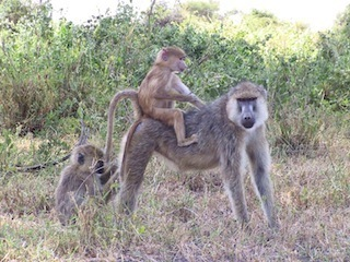 Baboons having sex