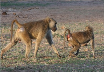 Consorting baboons