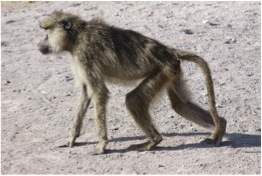 Aging in the Amboseli baboons