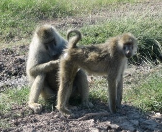 A consorting pair of baboons
